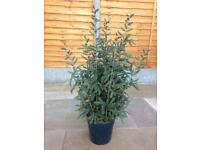 Artificial plant - two available