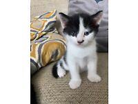 One beautiful black and white kitten left