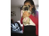 1 beautiful Male chihuahua for sale ready to go now £500