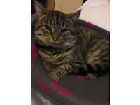 Looking for the owner of a Large friendly tabby cat found in Hartsbourne Road, Bushey