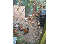 6 Chickens - free to good home 4 hens and 2 roosters must be kept together as they are friends