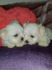 Maltese pups