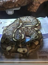 adult mojove female, and male normal royal python