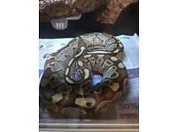 adult mojove female, and male normal royal python