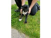 Pug puppy k c reg