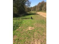 Goddard's Dog Walking Services Solo and Group walks