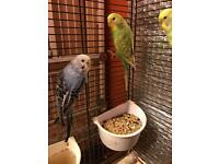 Young Pair of budgies