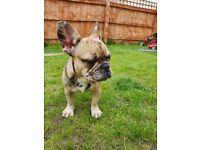 French Bulldog Puppy Merle Girl