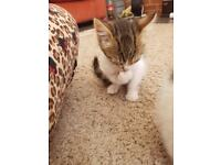 2 adorable 10 weeks old kittens looking for a home
