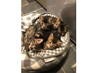 ***ALL SOLD ***Part Bengal kittens