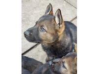 KC Registered Czech Line German Shepherd Puppies