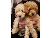 Female miniature poodles