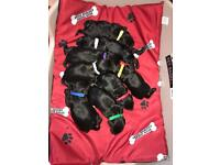 Toy sproodle puppies for sale