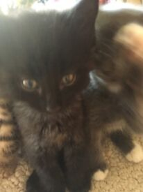 Female black and grey kitten for sale READY TO GO
