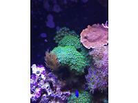 Salt water aquarium corals