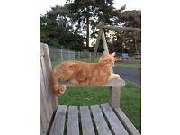 GINGER CAT MISSING!