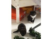 2 male black kittens, 9 weeks old, ready for their forever homes now £50 each. From Sunderland
