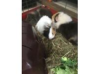 Guinea pigs x3