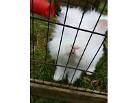 Double and single lion head Rabbits