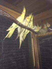 Cockatel Parakeet for sale