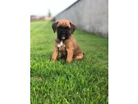 * BOXER PUPPIES FOR SALE *