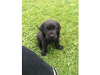 Male, pedigree, black labrador puppy for sale. KC registered, 1st vaccinaton, microchipped ready now