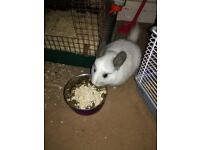 Chinchillas with Cages For Sale