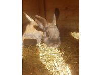 Rabbit 1year old male friendly and hutch