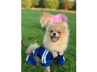Pomeranian puppie boy 6 month have all documents