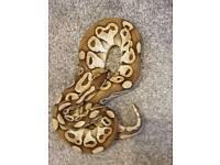 Female lesser royal python