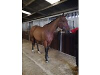 Flashy genuine character riding horse. Hacks alone rides in an outline and is good to box/shoe