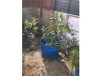 Big bedding plant