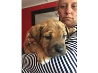 bullmastiff cross puppies for sale