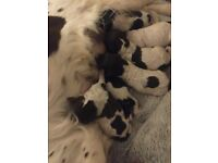 Sproodle Puppys 4 left