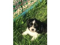 Beautiful spring tzu puppies ONLY 2 x females left