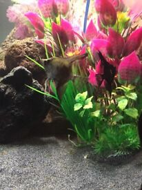 8 Angels, 6 gourami, 1 red tail shark free to good home