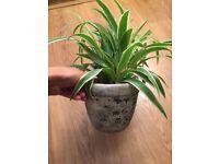 Plant + pot