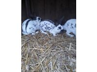 English Spotted Rabbits. White with silver spots.