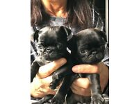 Black kc reg pug puppies