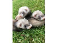 Ferrets for sale hobs 8 weeks old