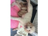 Standard Poodle Puppies (Red) ready 14th May