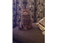 Missing exotic shorthair cat MILO