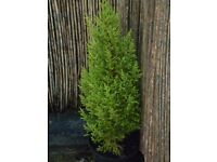 Wilma Goldcrest lemon scented conifer tree, (4 available)