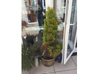 2 POTTED FIR TREES