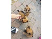Jack Russel X Pomeranian Puppies