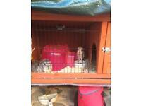 2 x male guinea pigs