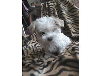 3/4 Maltese puppies. Female