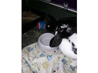 2lops 3mo boys dbl hutch months of food hay bedding vaced chiped spayed saving you 100s loads toys