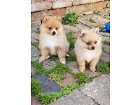 Pomeranian poppys