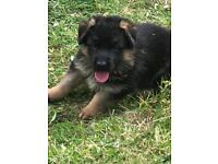 Top quality German shepherd puppies